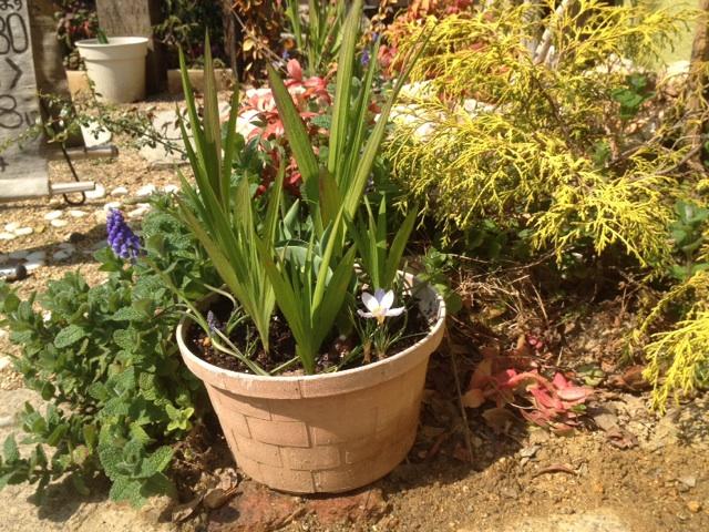 サロン前のお花たちも次々と花を咲かせ楽しませてくれます。ムスカリ&クロッカス