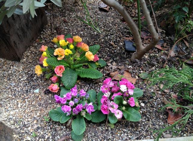 サロン前のお花たちも次々と花を咲かせ楽しませてくれます。ジュリアン